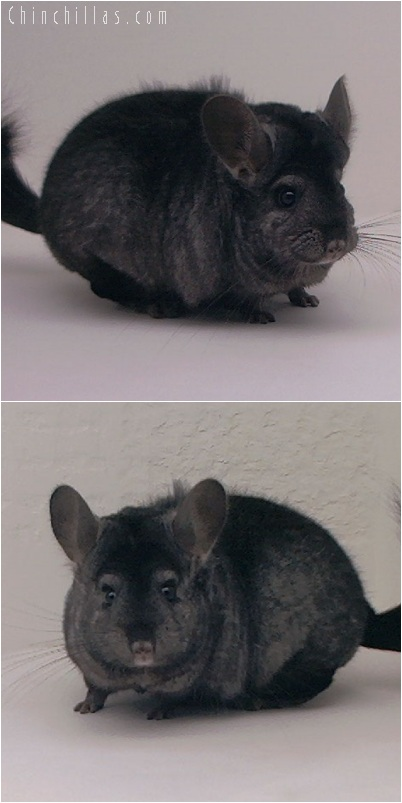 5209 Large Show Quality Ebony Female Chinchilla