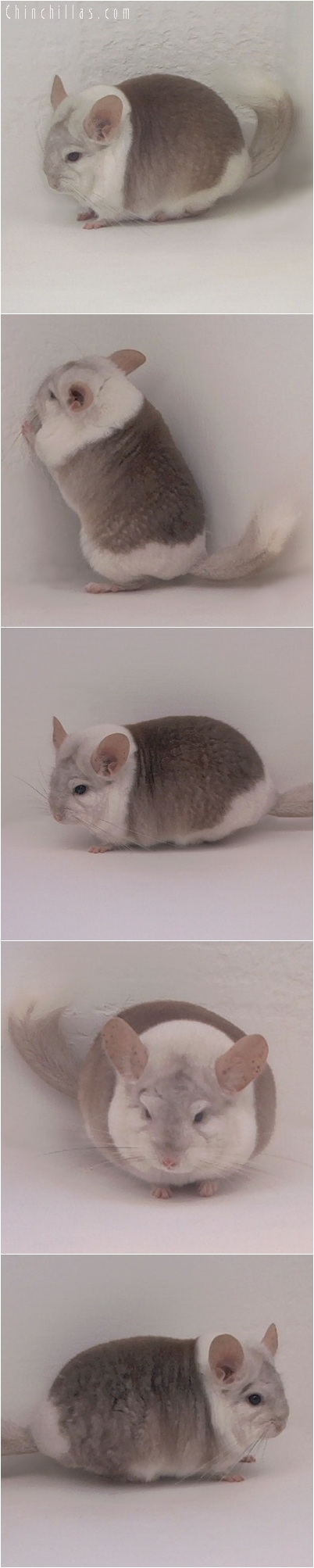 5218 Extreme Beige & White Mosaic Male Chinchilla