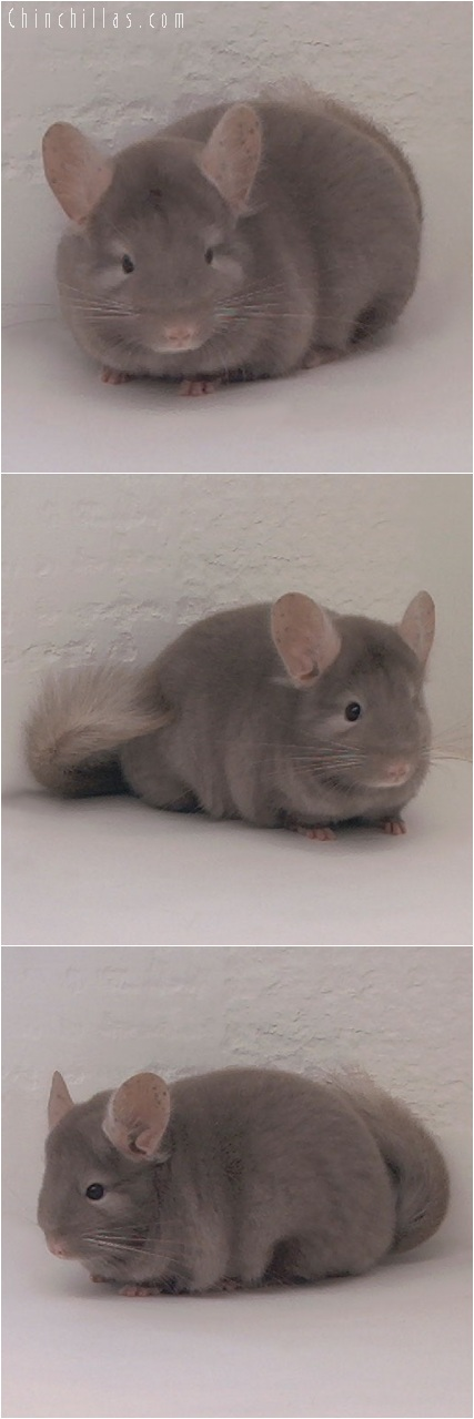 5220 Show Quality Tan Female Chinchilla