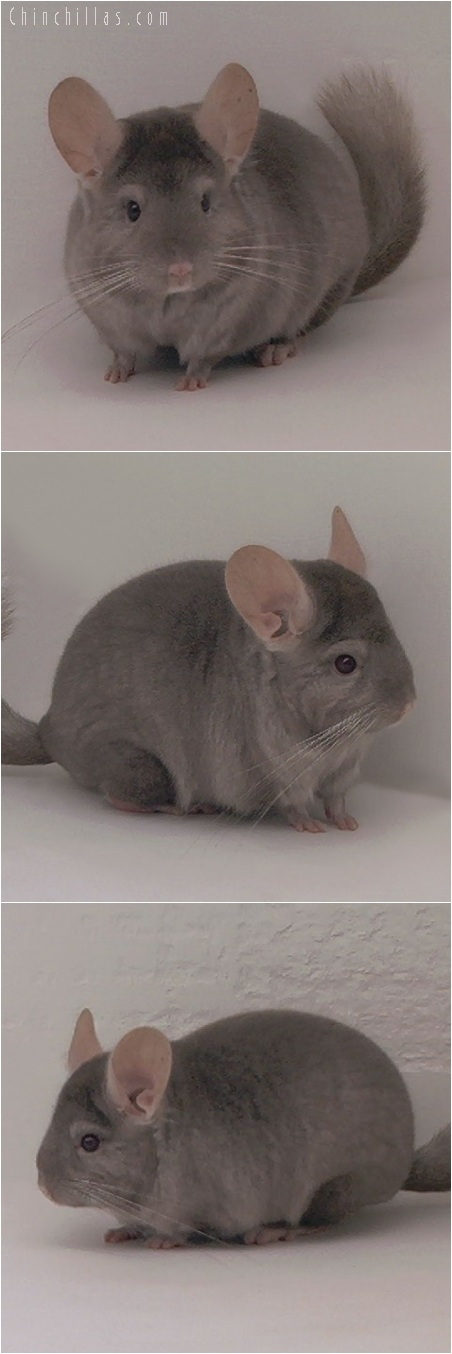 5217 Top Show Quality Tan Male Chinchilla