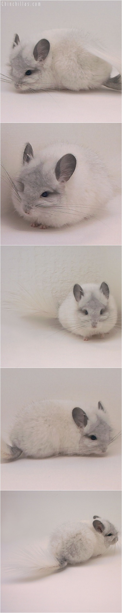 5050 White Mosaic Royal Persian Angora Male Chinchilla