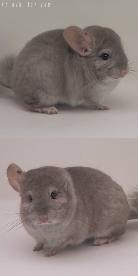 5132 Herd Improvement Quality Beige Male Chinchilla