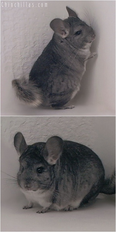 5223 Show Quality Standard ( Violet Carrier ) Female Chinchilla