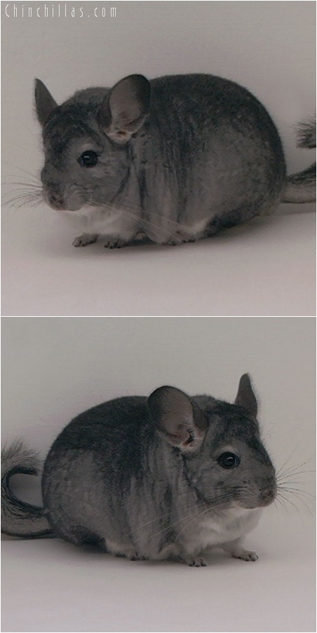 5176 Large Show Quality Standard Female Chinchilla