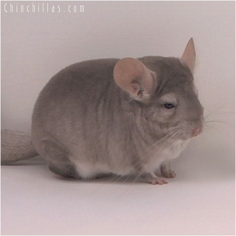 5157 Top Show Quality Beige ( Violet Carrier ) Male Chinchilla