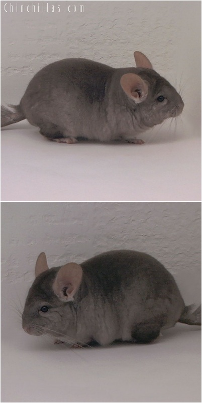 5189 Show Quality Light Tan Female Chinchilla