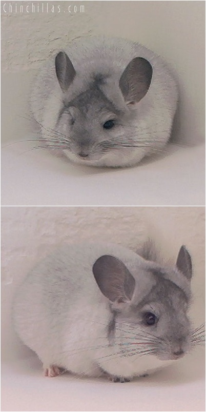 5073 Show Quality Silver Mosaic Male Chinchilla