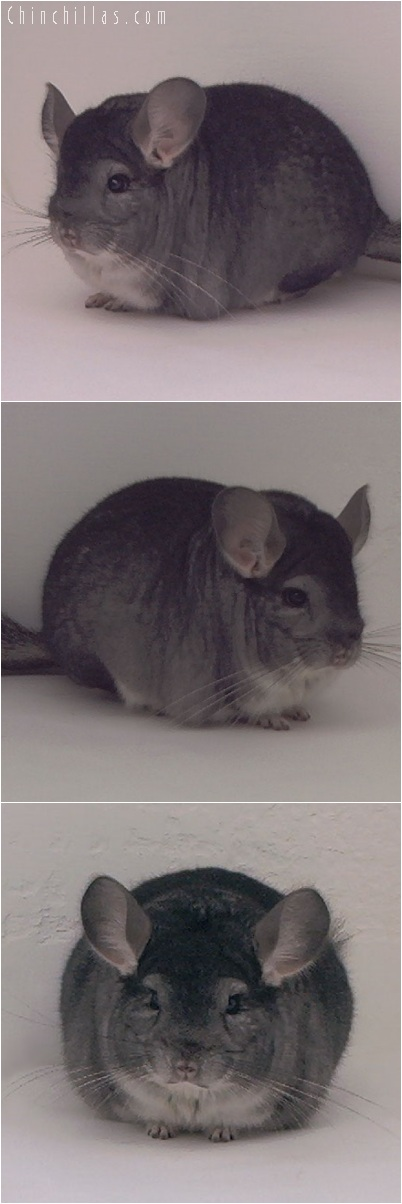 5226 Blocky Herd Improvement Quality Standard Male Chinchilla