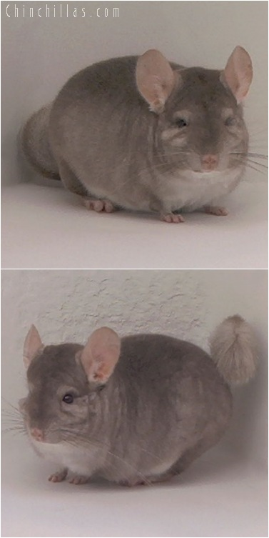 5106 Large Top Show Quality Beige Male Chinchilla