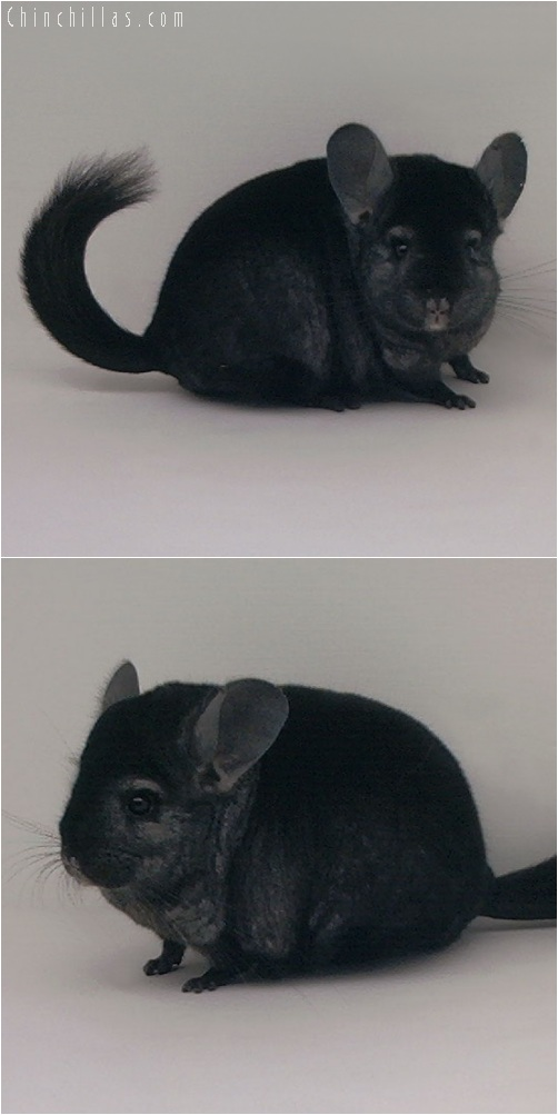 5222 Premium Production Quality Ebony Female Chinchilla