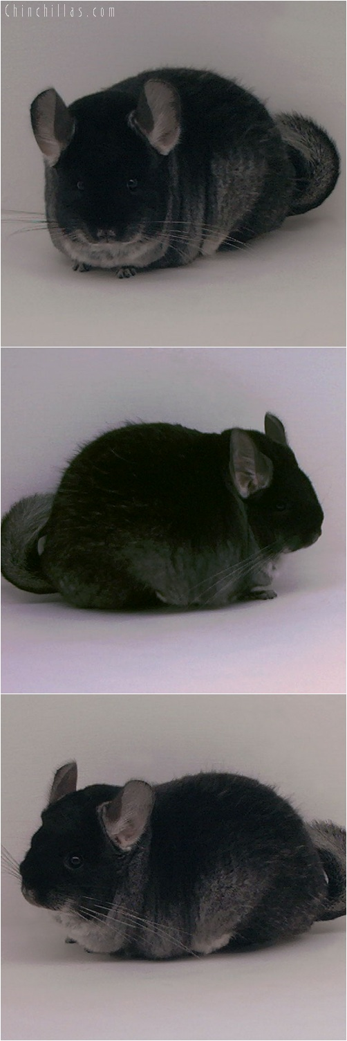 5231 Extra Large Show Quality Brevi - type Black Velvet Female Chinchilla