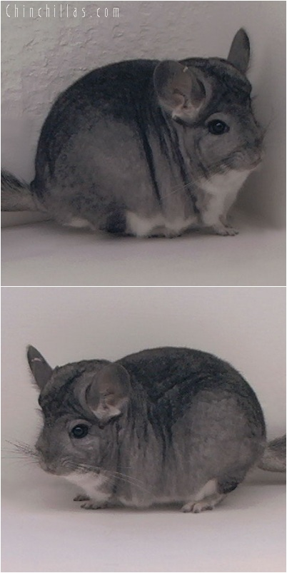 5230 Large Standard ( Royal Persian Angora Carrier ) Female Chinchilla