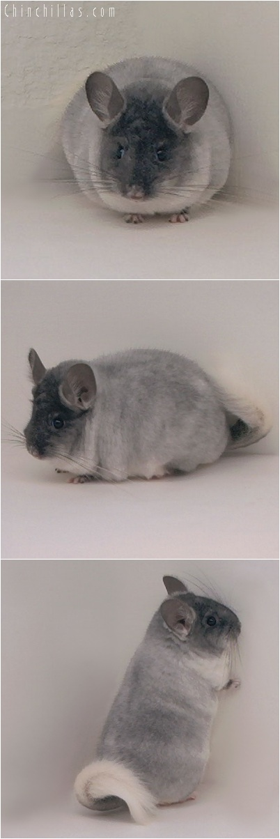 5219 Herd Improvement Quality TOV White Male Chinchilla