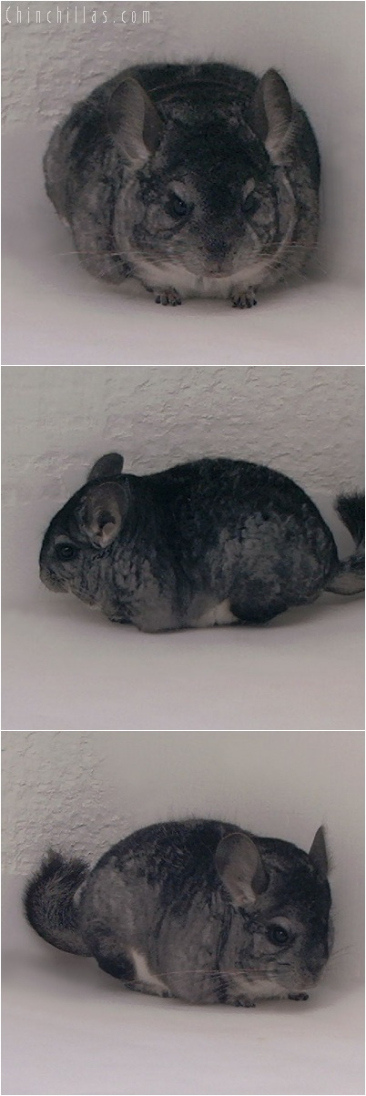 5173 Mini Standard Female Chinchilla