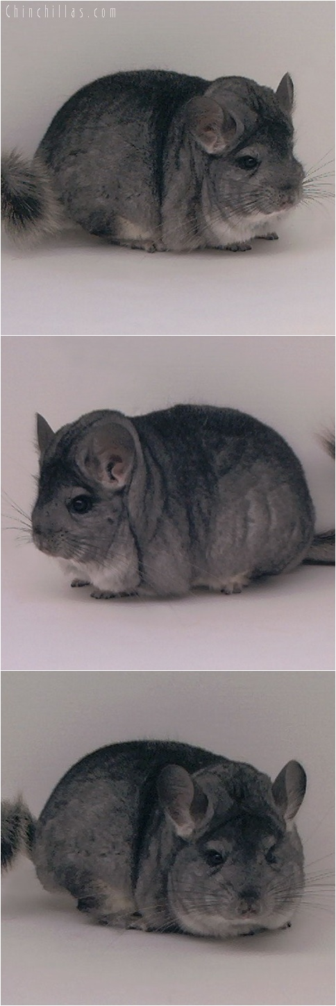 5234 Premium Production Quality Large Standard ( Violet Carrier ) Female Chinchilla