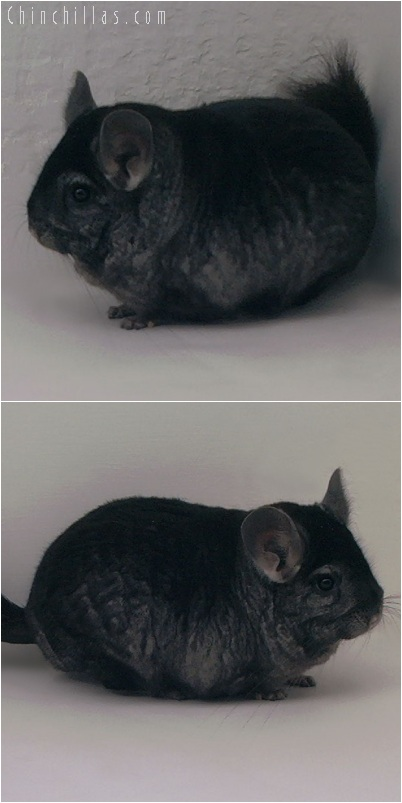 5238 Extra Large Ebony Male Chinchilla