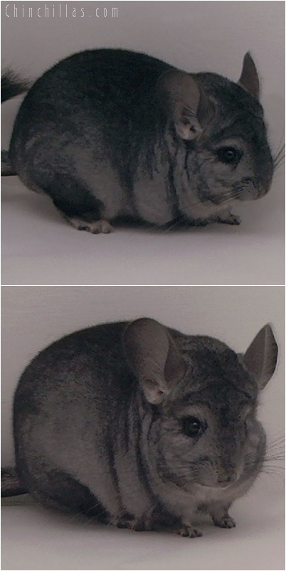 5241 Show Quality Ebony ( Violet Carrier ) Female Chinchilla