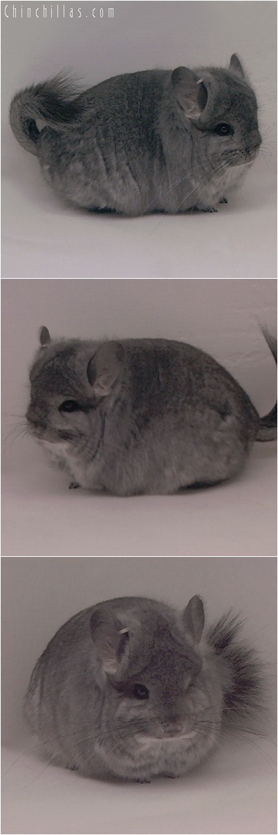 5244 Standard Royal Persian Angora Female Chinchilla