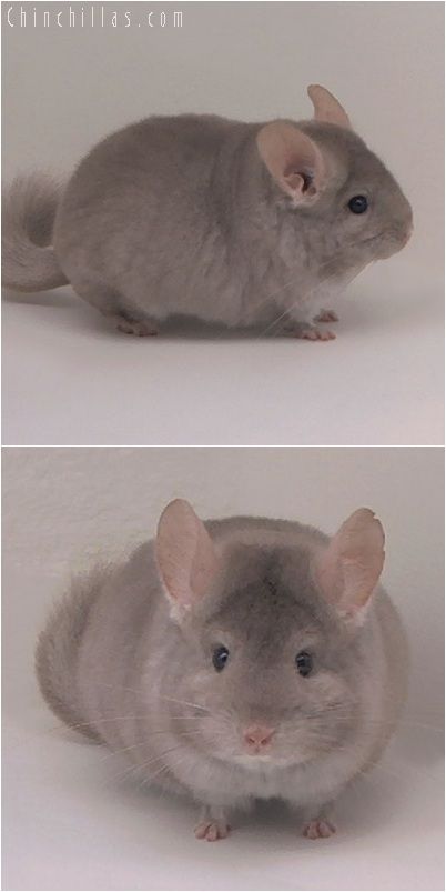 5160 Large Herd Improvement Quality Beige Male Chinchilla