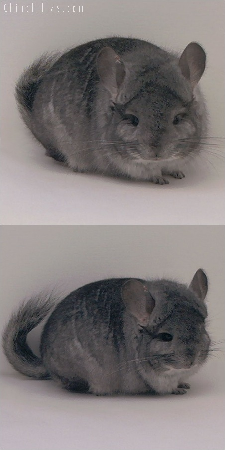 5247 Standard ( Royal Persian Angora Carrier ) Male Chinchilla