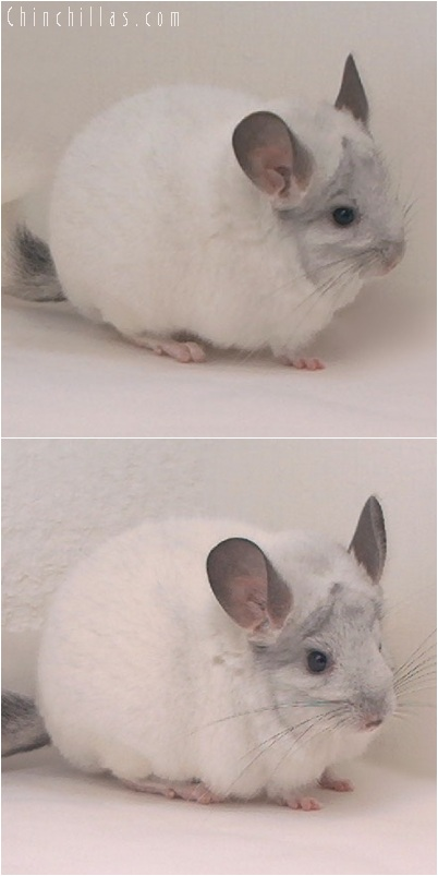 5250 Large Show Quality White Mosaic Male Chinchilla