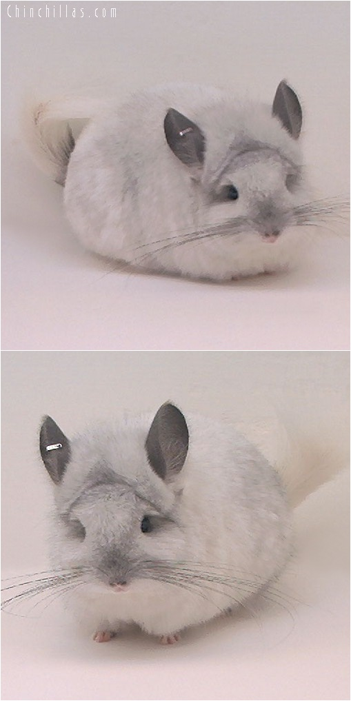 5064 Exceptional White Mosaic Angora Female Chinchilla