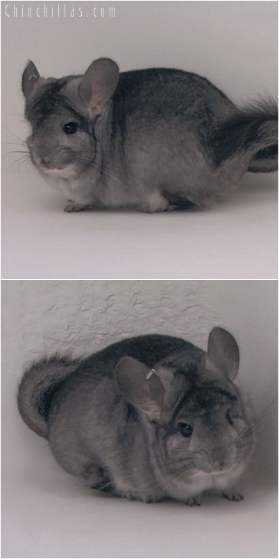 5236 Standard ( Royal Persian Angora Carrier ) Male Chinchilla
