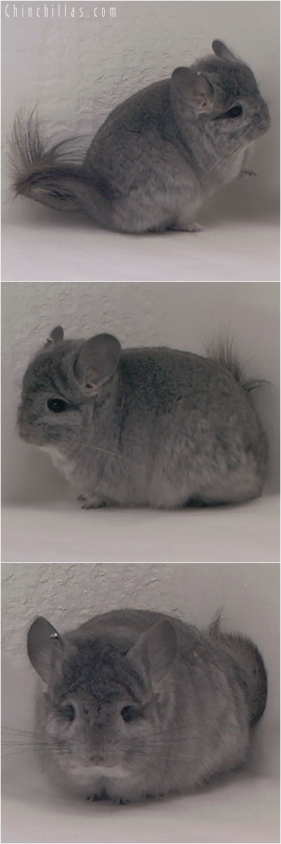 5255 Standard Royal Persian Angora Female Chinchilla