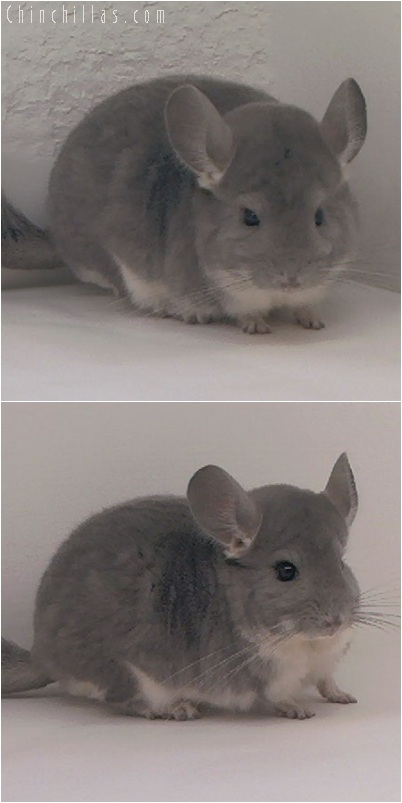 5254 Violet Male Chinchilla