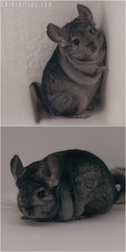 5248 Ebony ( Violet Carrier ) Female Chinchilla