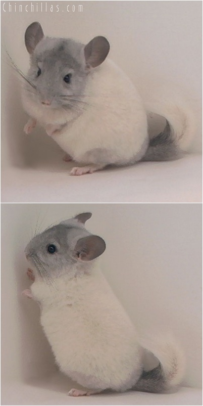 5253 White Mosaic Female Chinchilla