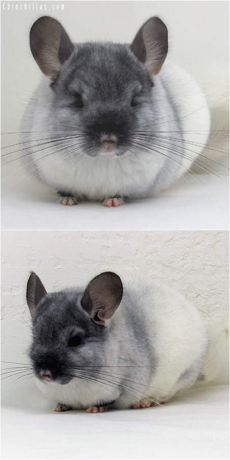 6001 Show Quality TOV White Female Chinchilla