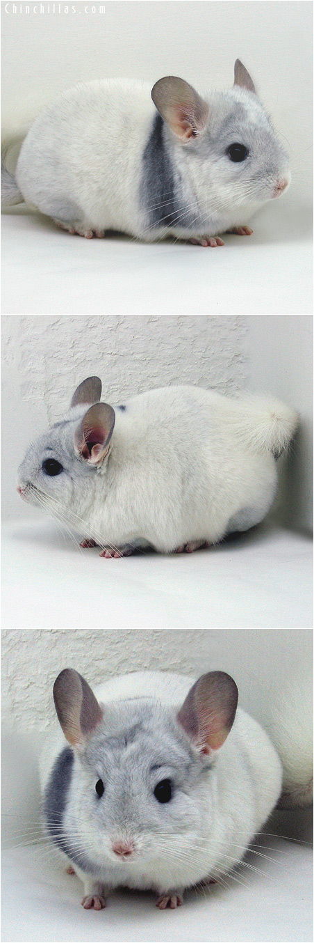 6002 Show Quality Sapphire and White Mosaic Female Chinchilla