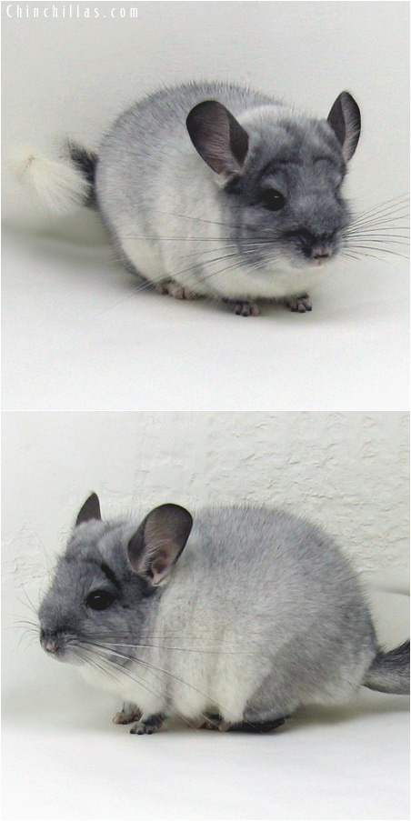 6003 Top Show Quality TOV White ( Violet Carrier ) Male Chinchilla