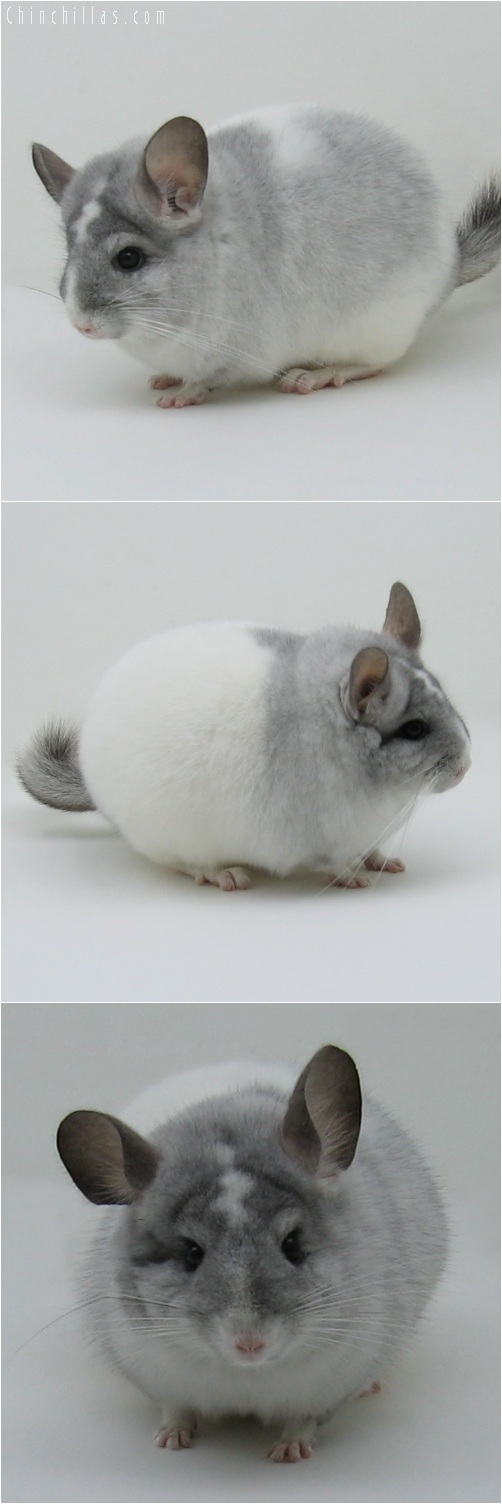 6006 Unique Show Quality White Mosaic Female Chinchilla