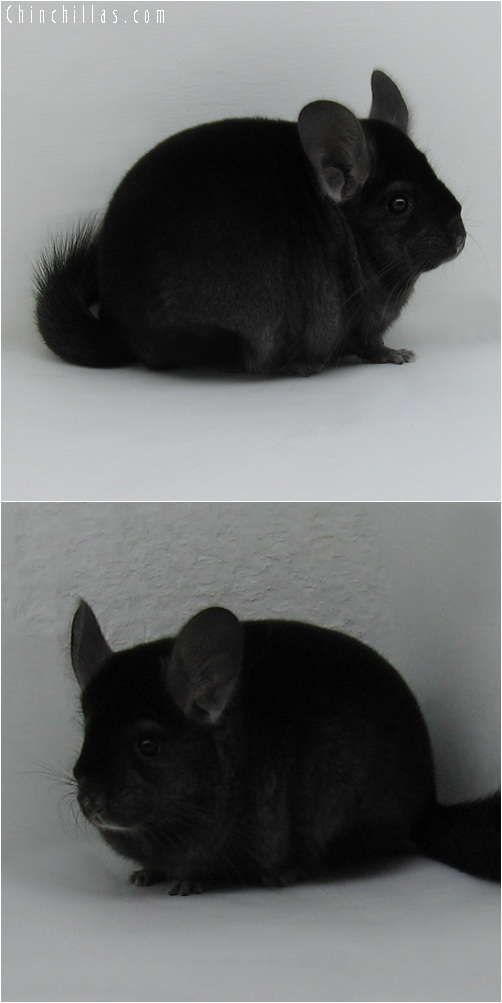 6008 Premium Production Quality Ebony Female Chinchilla