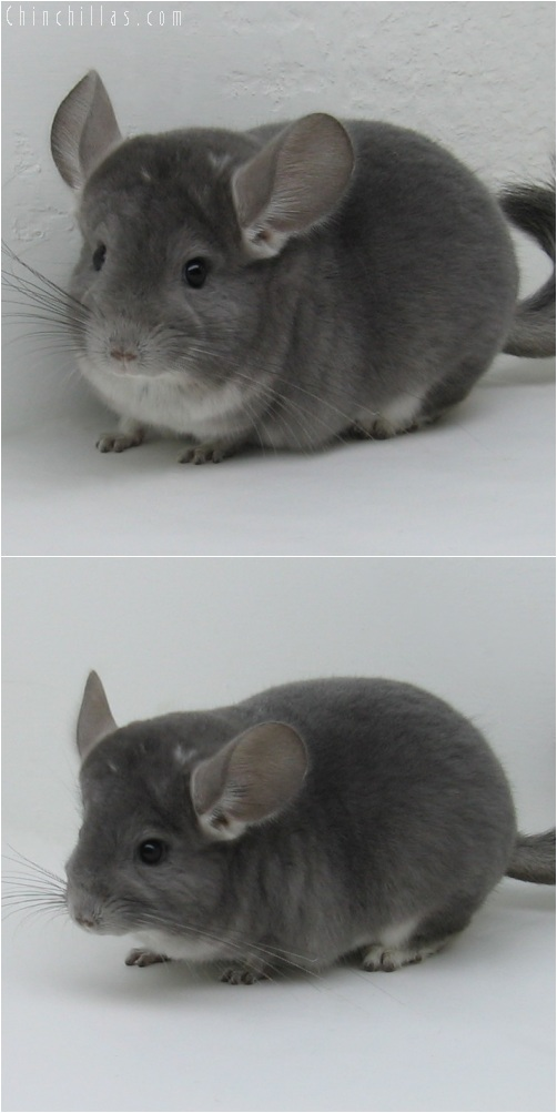 6005 Show Quality Violet ( Ebony Carrier ) Female Chinchilla