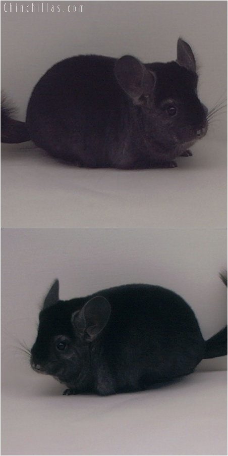 5258 Ebony Female Chinchilla