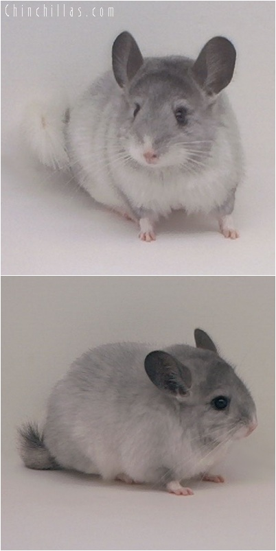 5202 Show Quality White Mosaic ( Sapphire & Ebony Carrier ) Female Chinchilla