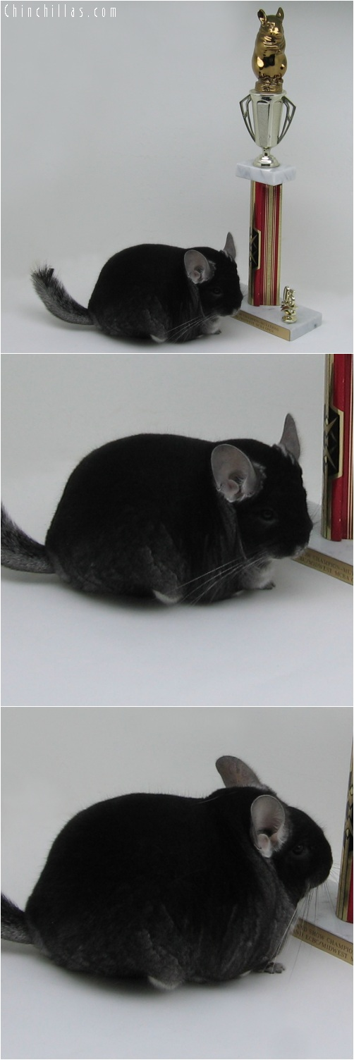 6010 XXL Reserve Grand Show Champion Black Velvet Male Chinchilla