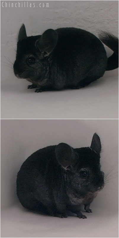 5188 Show Quality Ebony Female Chinchilla