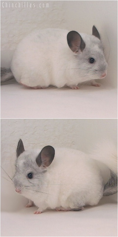 5166 Show Quality White Mosaic Male Chinchilla