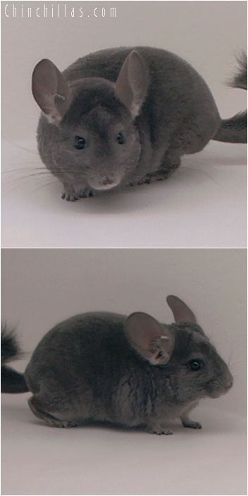 5107 Violet ( Ebony Carrier ) Male Chinchilla