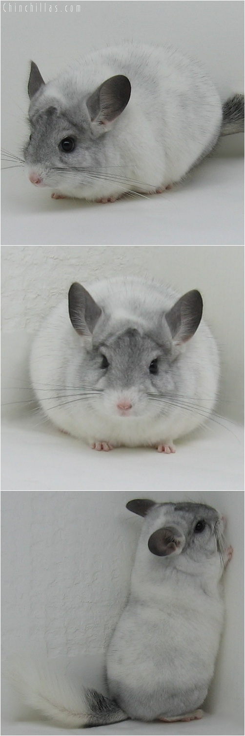 6019 Large Show Quality White Mosaic Male Chinchilla