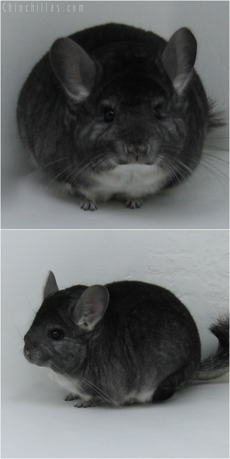 6009 Show Quality Standard Female Chinchilla