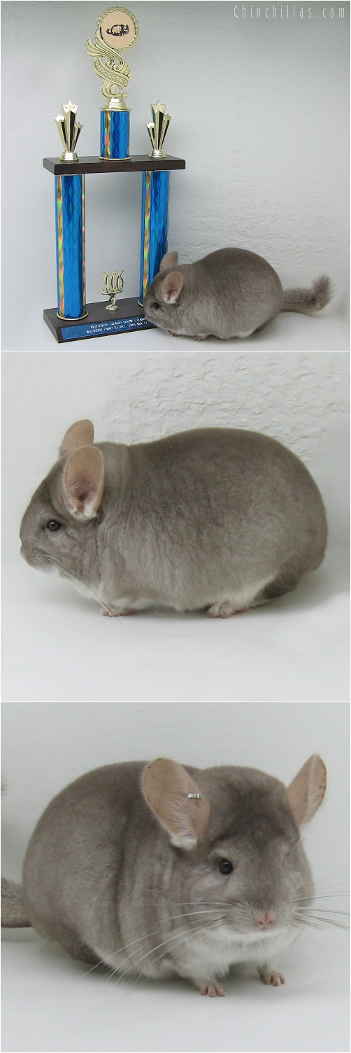 6024 Grand Show Champion Beige Female Chinchilla