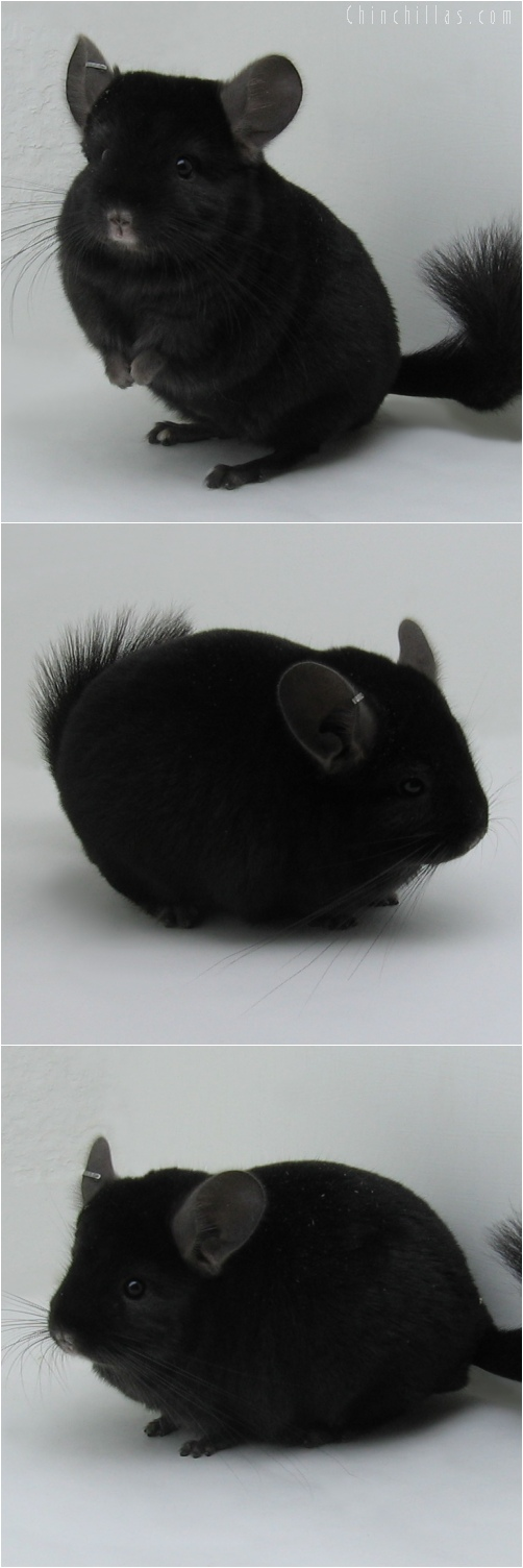 6026 Top Show Quality Ebony Male Chinchilla