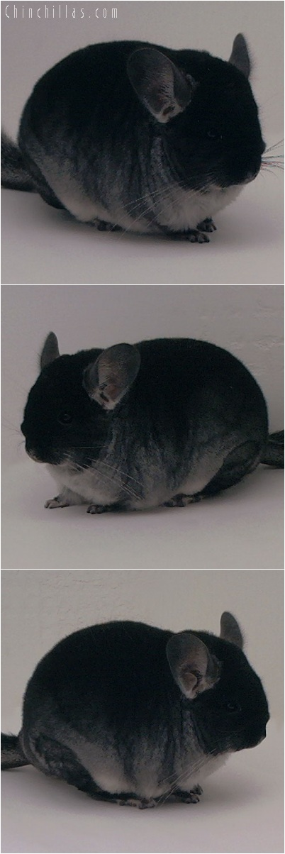 5239 Show Quality Black Velvet Female Chinchilla