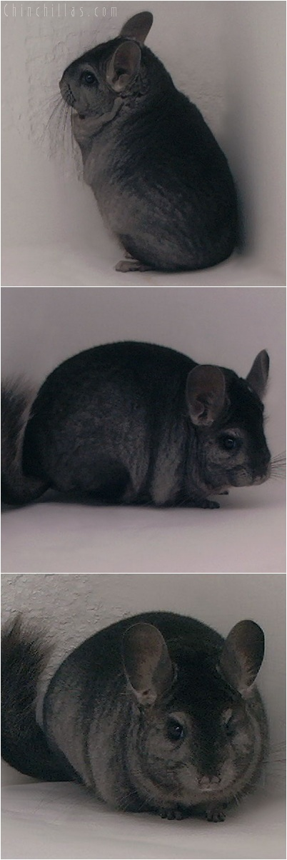 5242 Premium Production Quality Ebony Female Chinchilla
