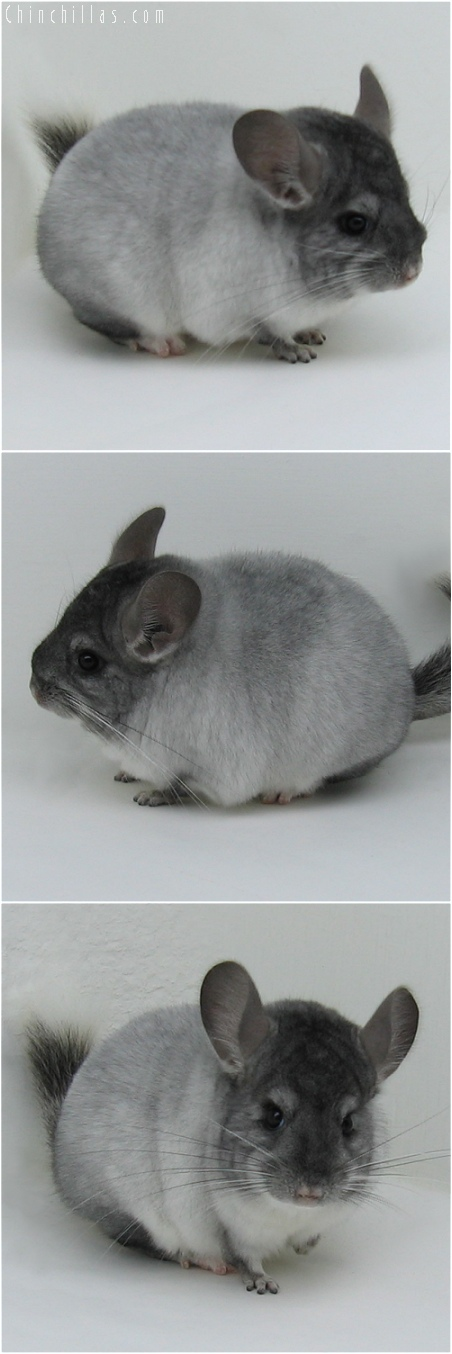 6029 Premium Production Quality TOV White Female Chinchilla